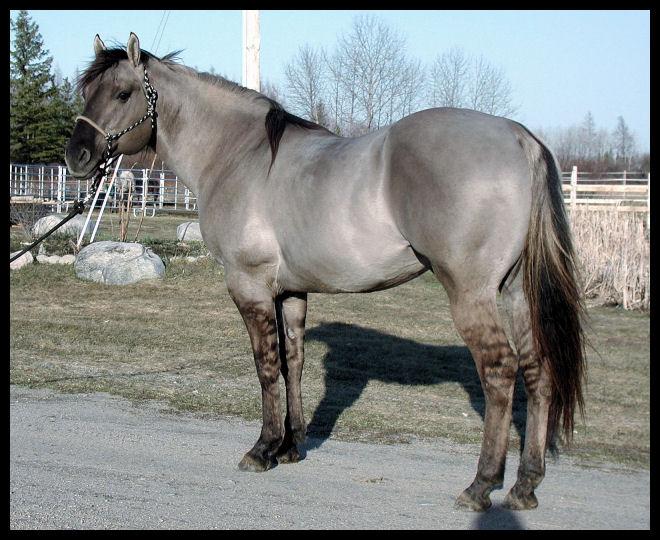 STUD: Stunning Silver Grulla AQHA, Homozygous Black ...